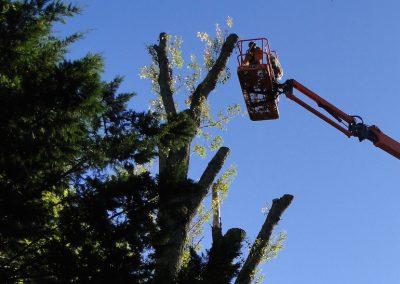 Abattage difficile d'un peuplier par les élagueurs de haute voltige de En grimant dans l'arbre
