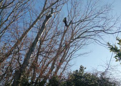 Étêtage de peuplier par les élagueurs de en Grimpant dans l'arbre