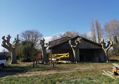 Gros élagage de platanes par en Grimpant dans l'arbre, en Drôme