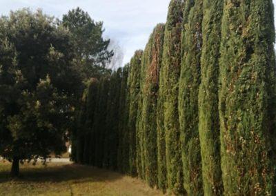 Taille de cyprès par les élagueurs de En grimpant dans l'arbre
